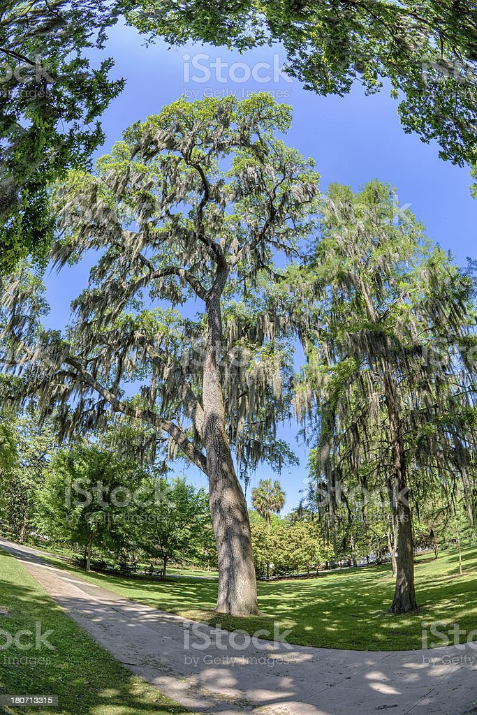 Spanish Moss On Trees In Springtime royalty-free stock photo