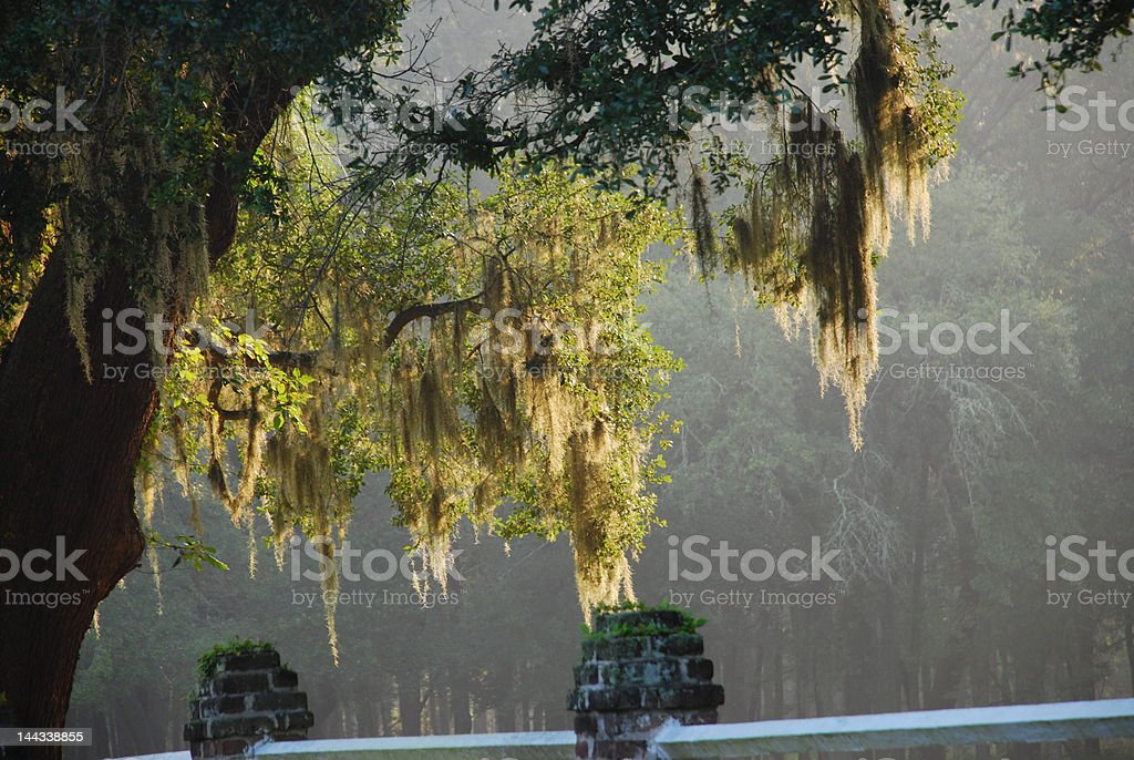 Spanish Moss royalty-free stock photo