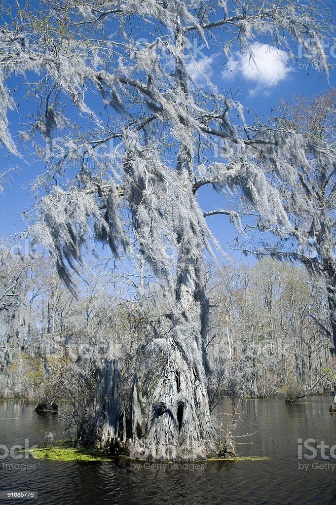 Spanish Moss Swamp Tree royalty-free stock photo
