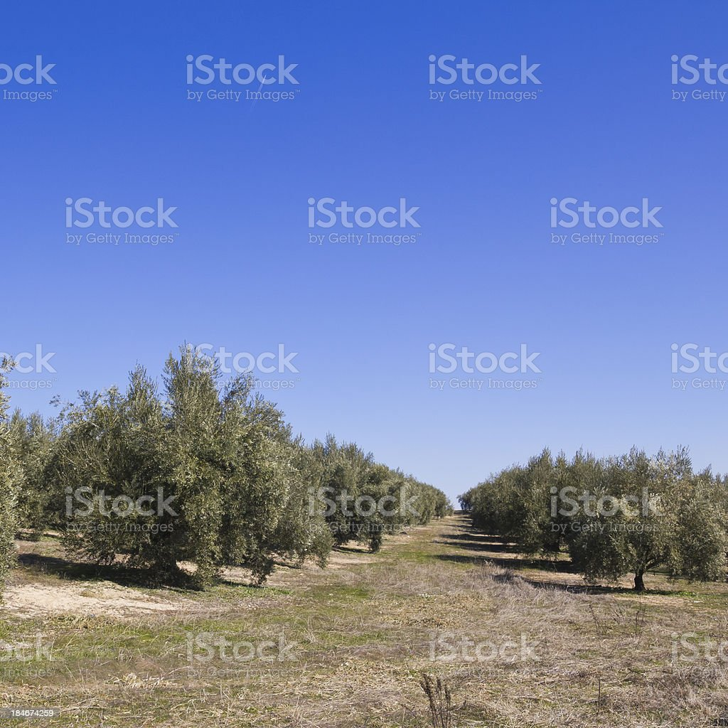 Spanish Olive field royalty-free stock photo