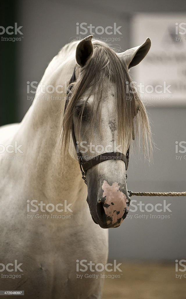 Spanish purebred horse competing in dressage competition classic, Spain stock photo