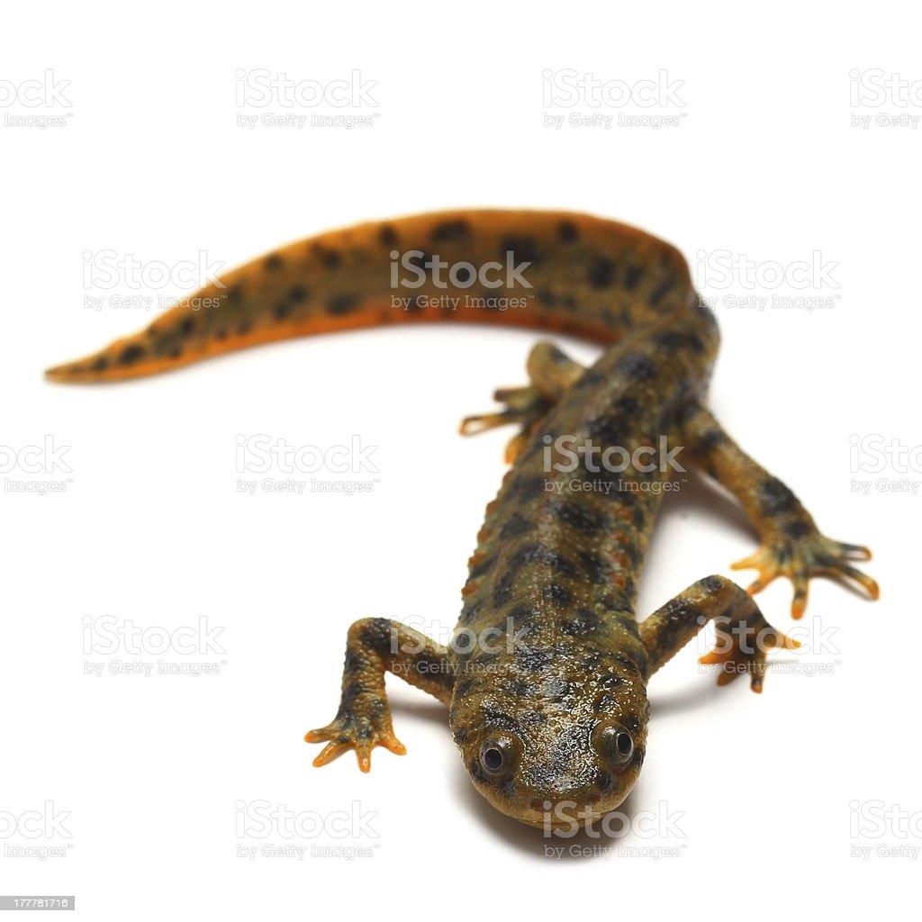 Spanish ribbed newt (Pleurodeles waltl) on white stock photo