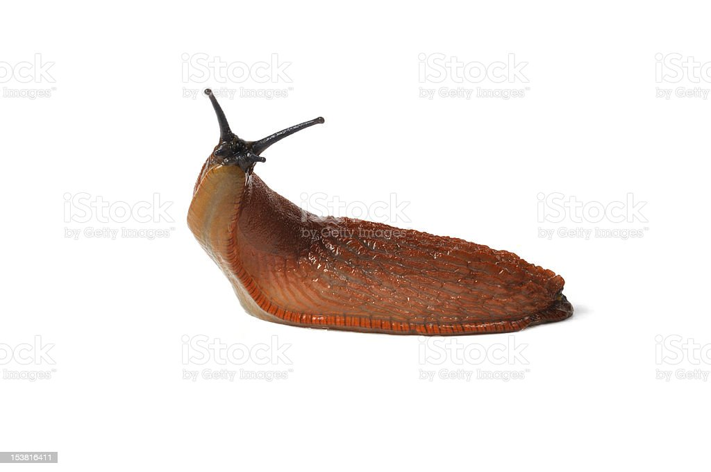 Spanish Slug stock photo