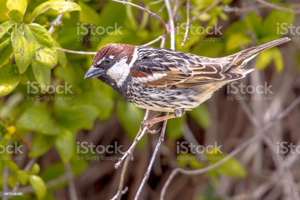 Spanish sparrow in a hedge in a garden on Cyprus stock photo