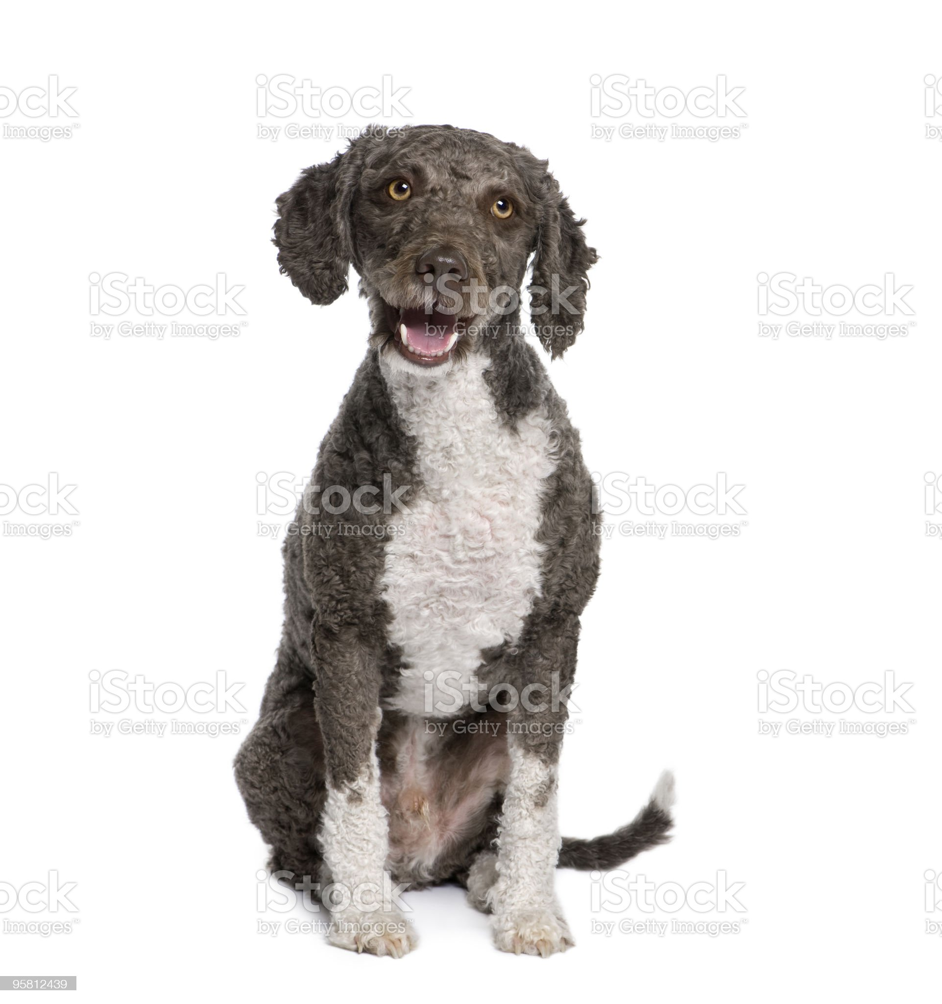 Spanish water spaniel dog sitting in front of white background royalty-free stock photo
