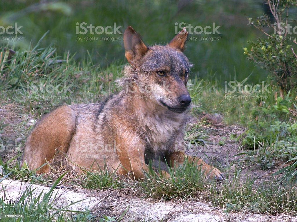 Spanish wolf stock photo