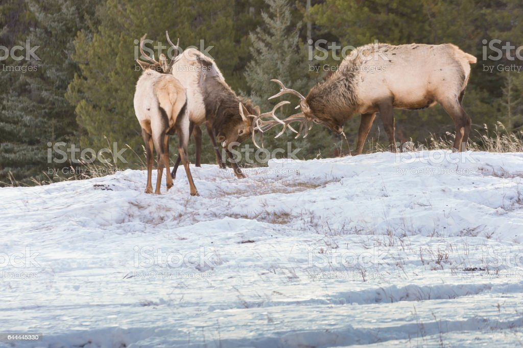 Sparring Elk stock photo