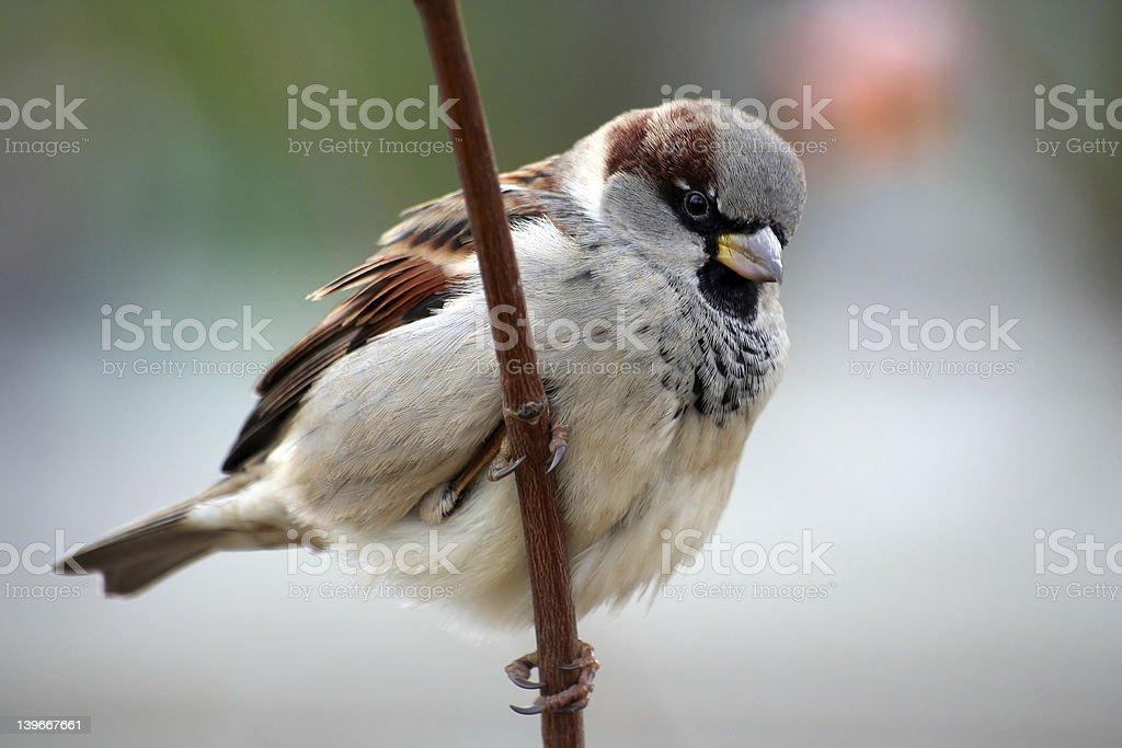 Sparrow aka Passer Domesticus royalty-free stock photo