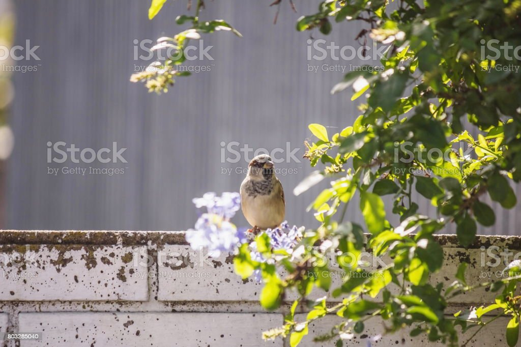 Sparrow  among green leaves stock photo