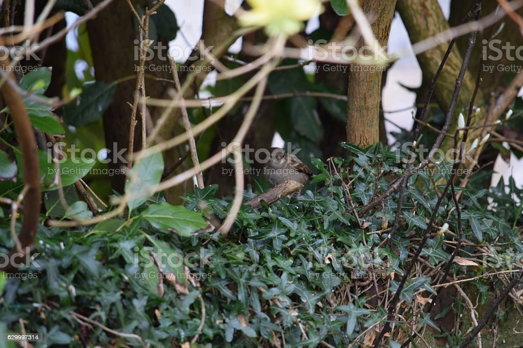 Sparrow amongst the ivy stock photo
