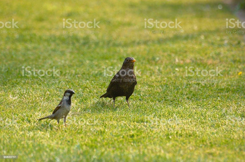 Sparrow and thrush stock photo