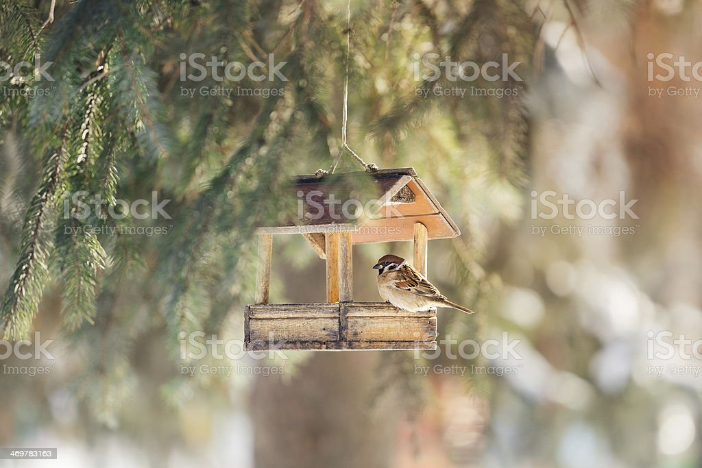 Sparrow at a feeding trough royalty-free stock photo