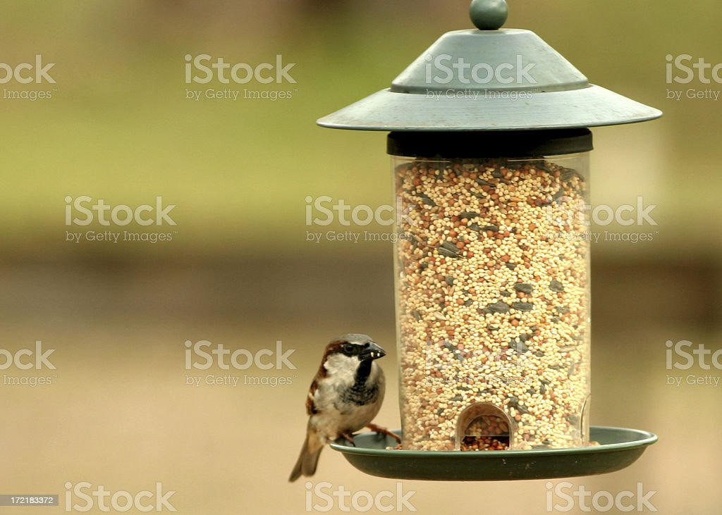 Sparrow at the Feeder stock photo