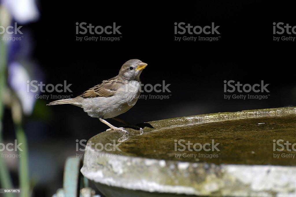 Sparrow Bath royalty-free stock photo