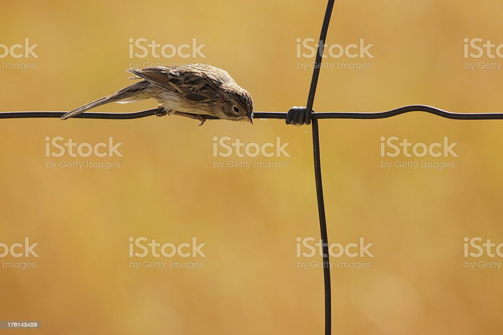 Sparrow Bird Passeridae Perched Fence stock photo