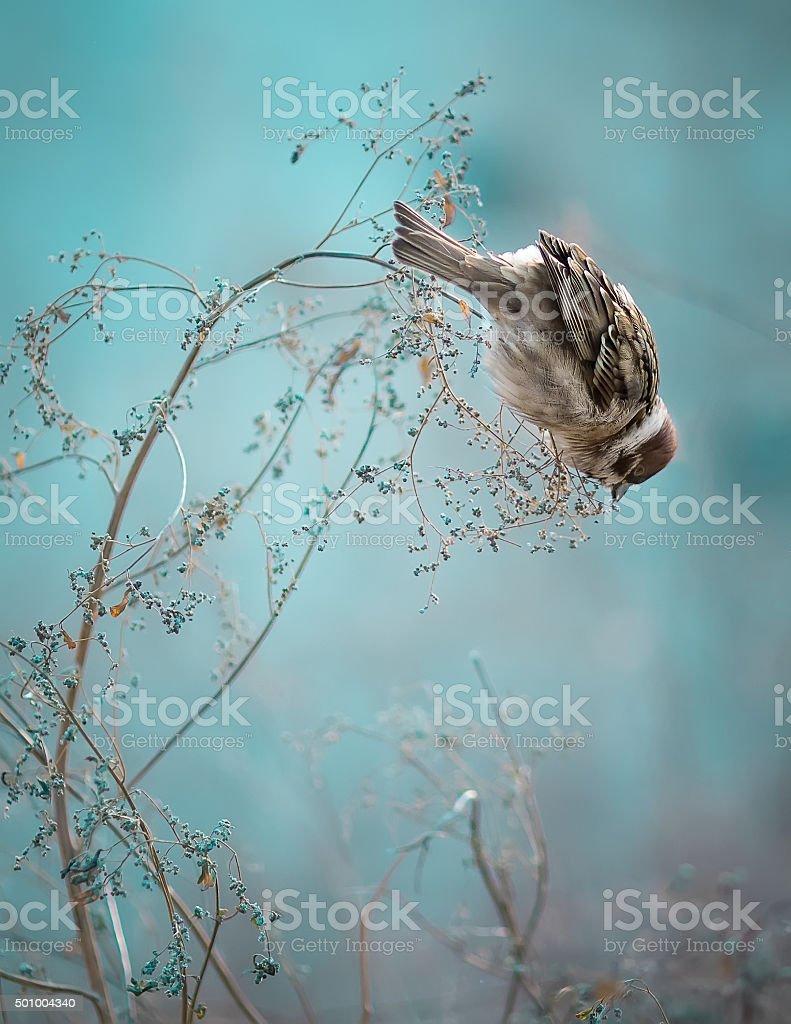 Sparrow Bird Sitting on Old Stick. Frozen Sparrow Bird Winter stock photo