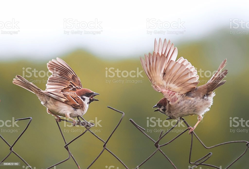 Sparrow birds flap their wings on the old fence stock photo