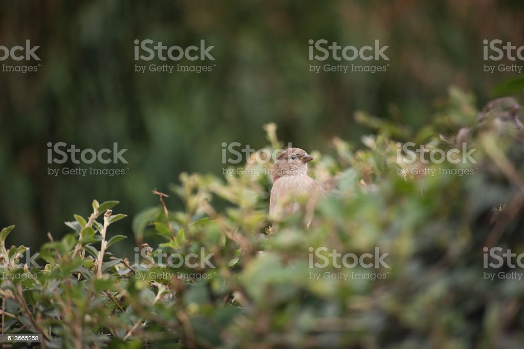 Sparrow chick stock photo