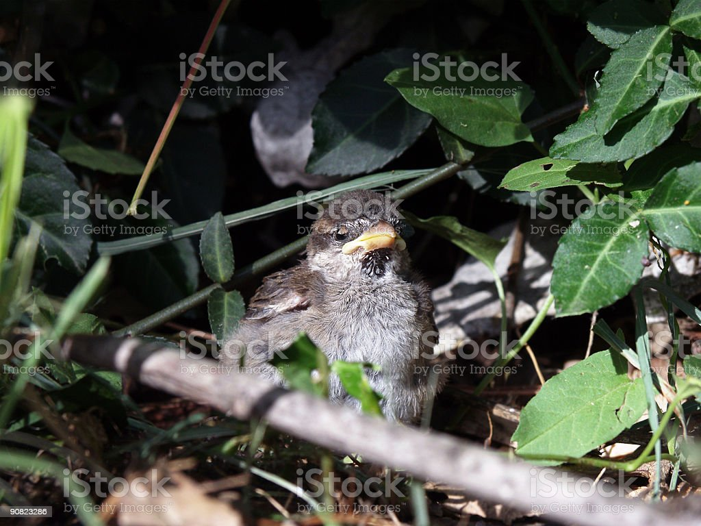 Sparrow Chick royalty-free stock photo