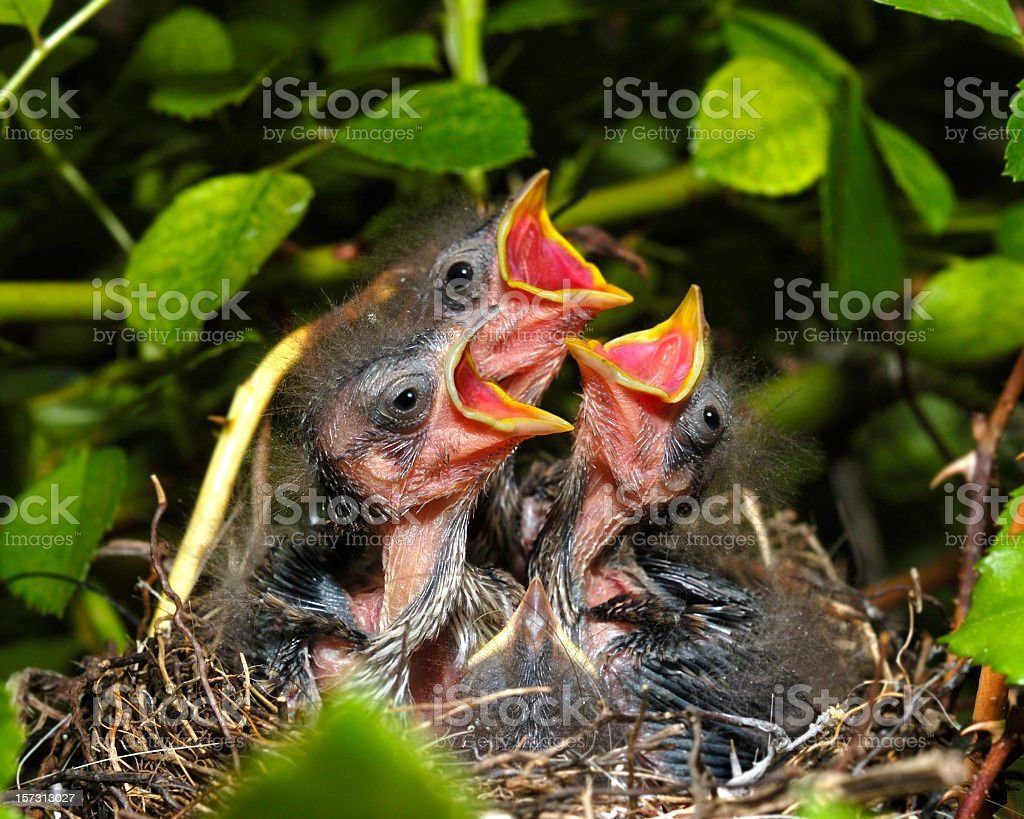 Sparrow chicks. royalty-free stock photo