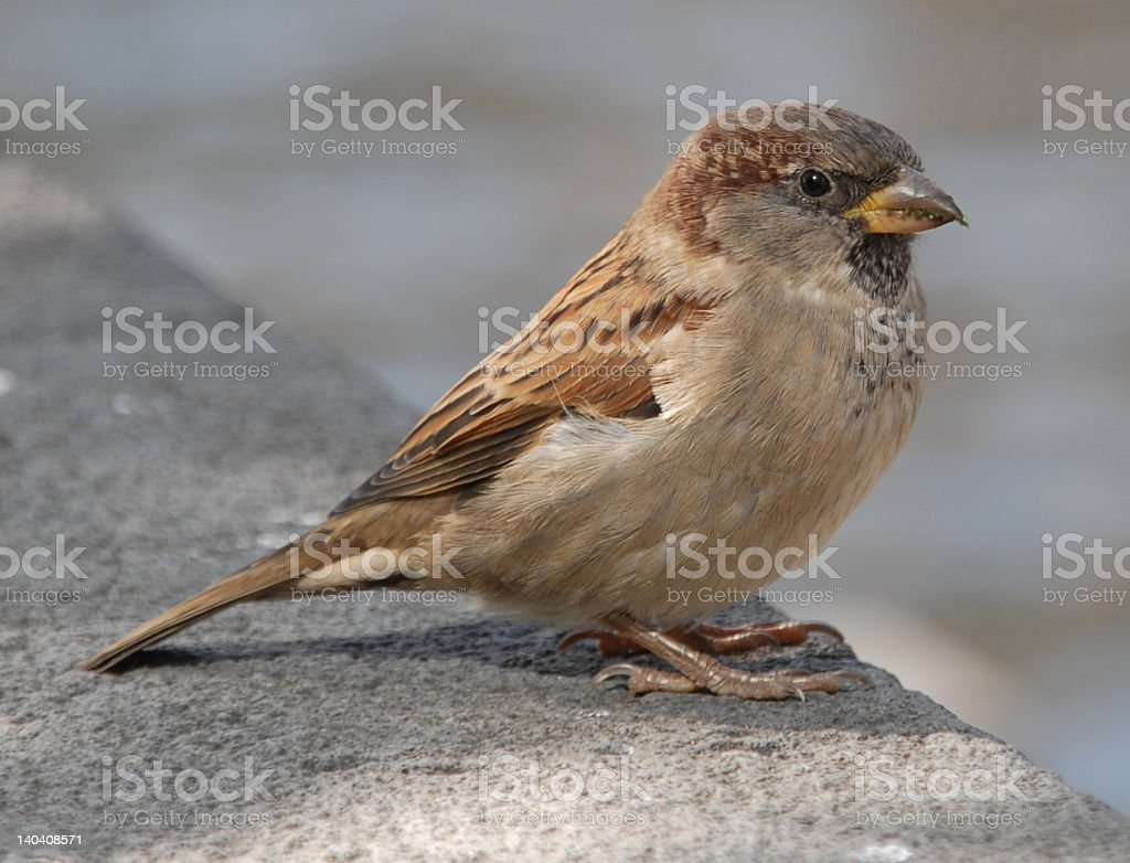 Sparrow close-up royalty-free stock photo