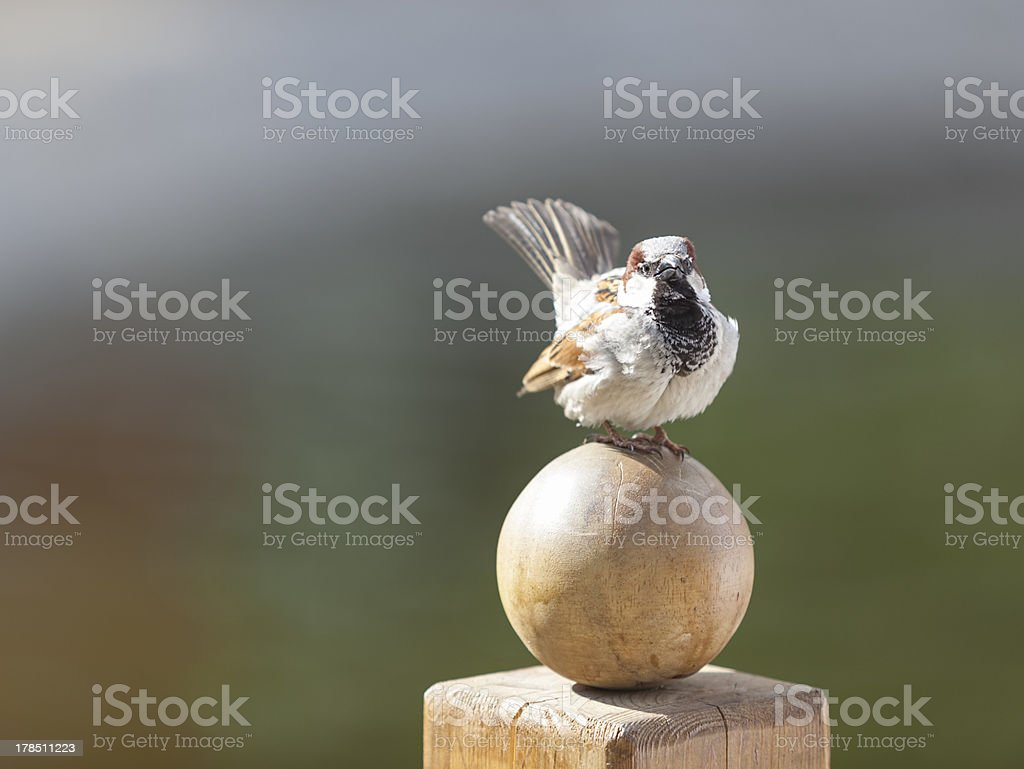 sparrow close-up royalty-free stock photo