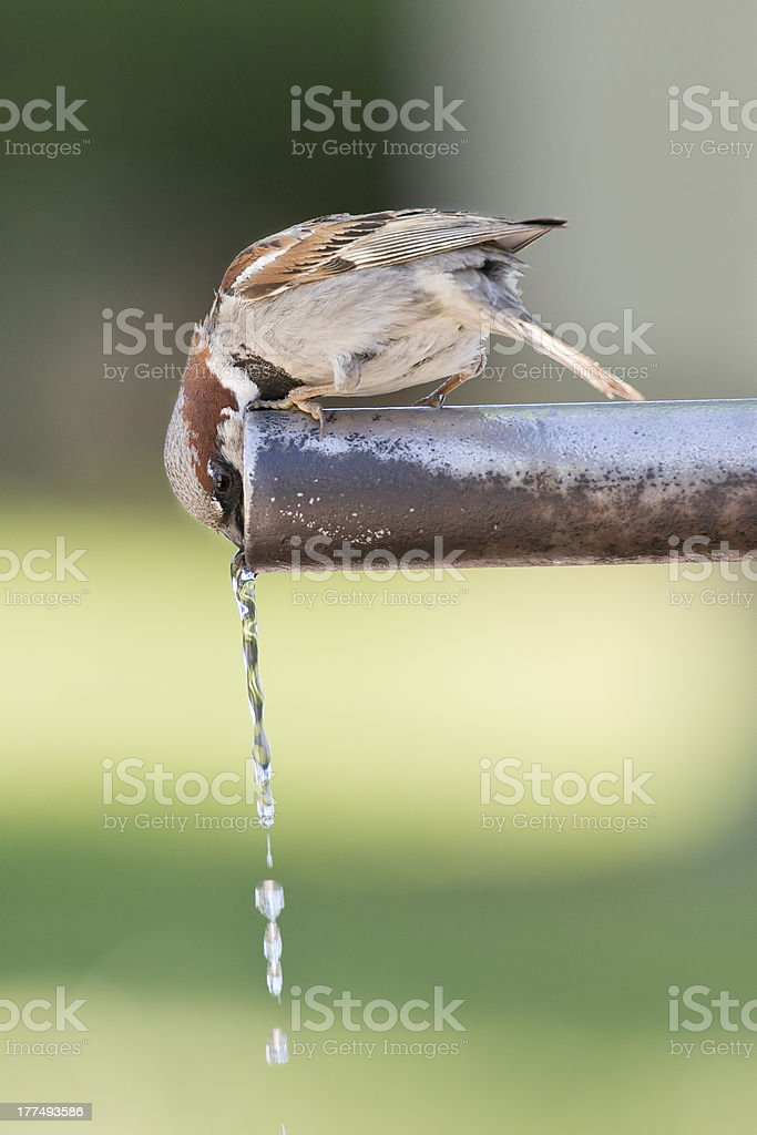 Sparrow drinking water. royalty-free stock photo