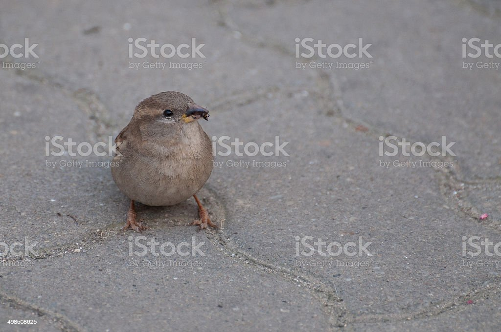 Sparrow eating a bug royalty-free stock photo
