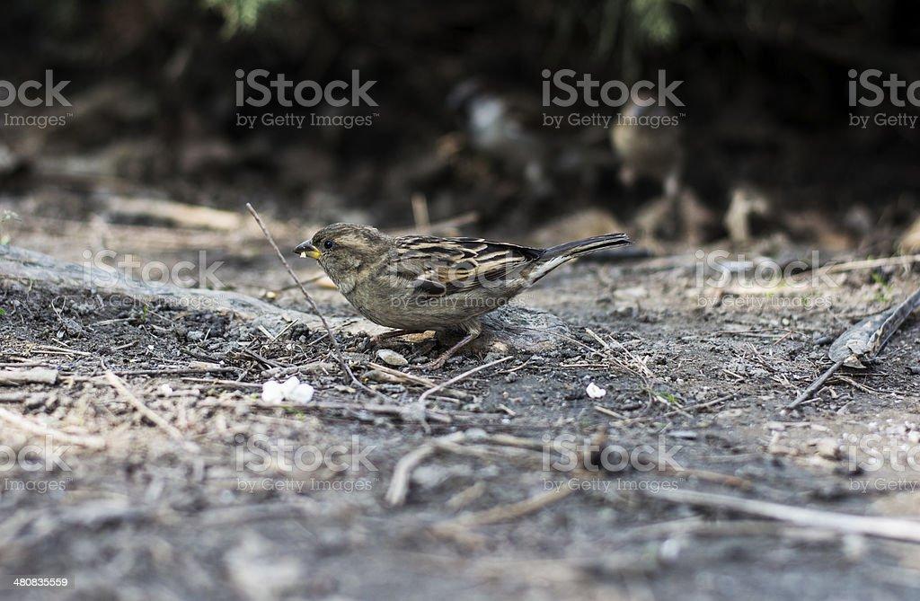 Sparrow eats popcorn stock photo