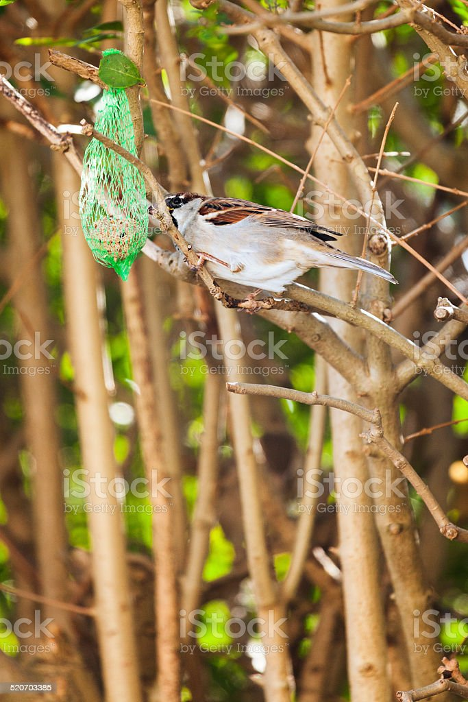 Sparrow feeding from a hanging fat ball stock photo