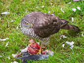 Sparrow Hawk eating
