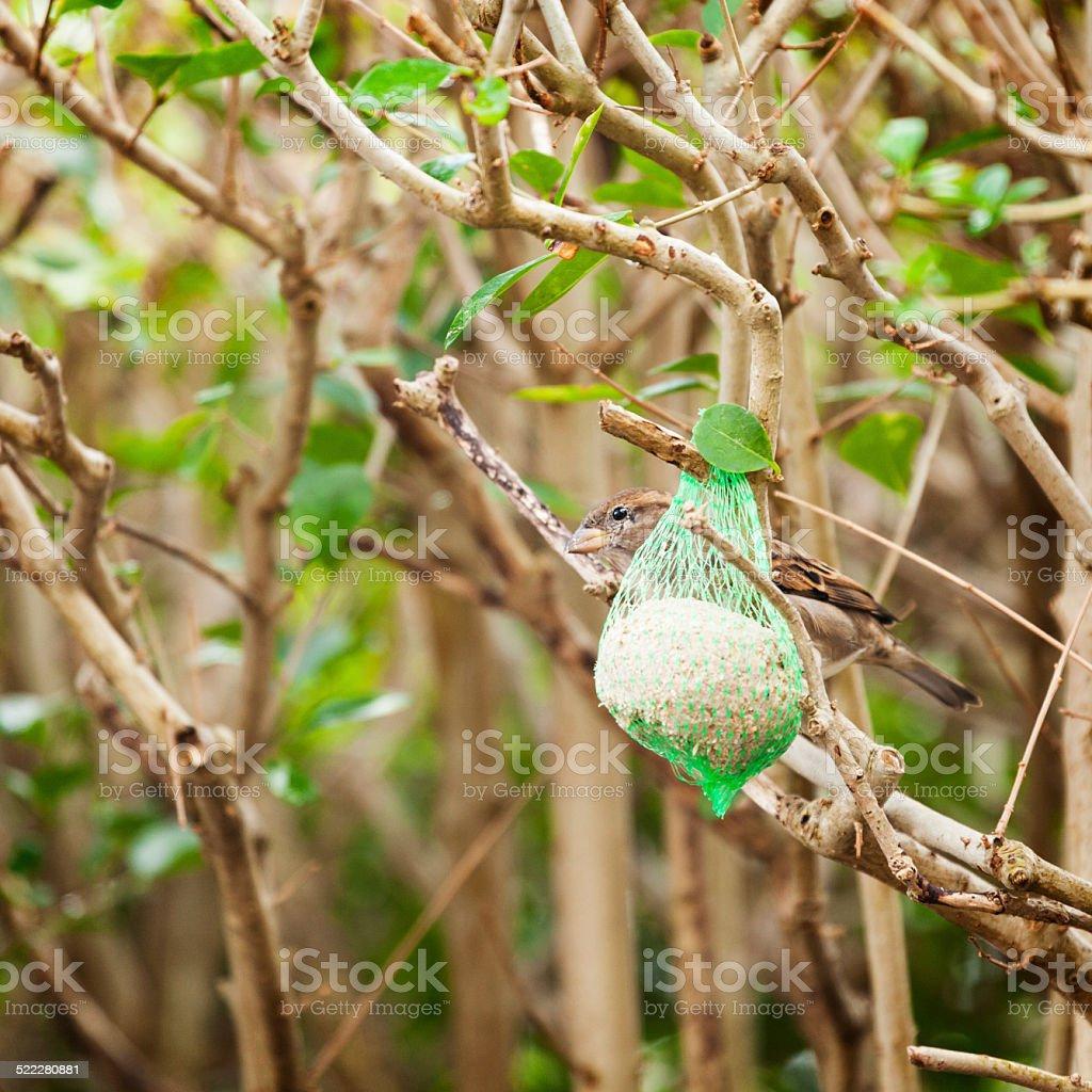 sparrow hiding behind a fat ball in the garden stock photo