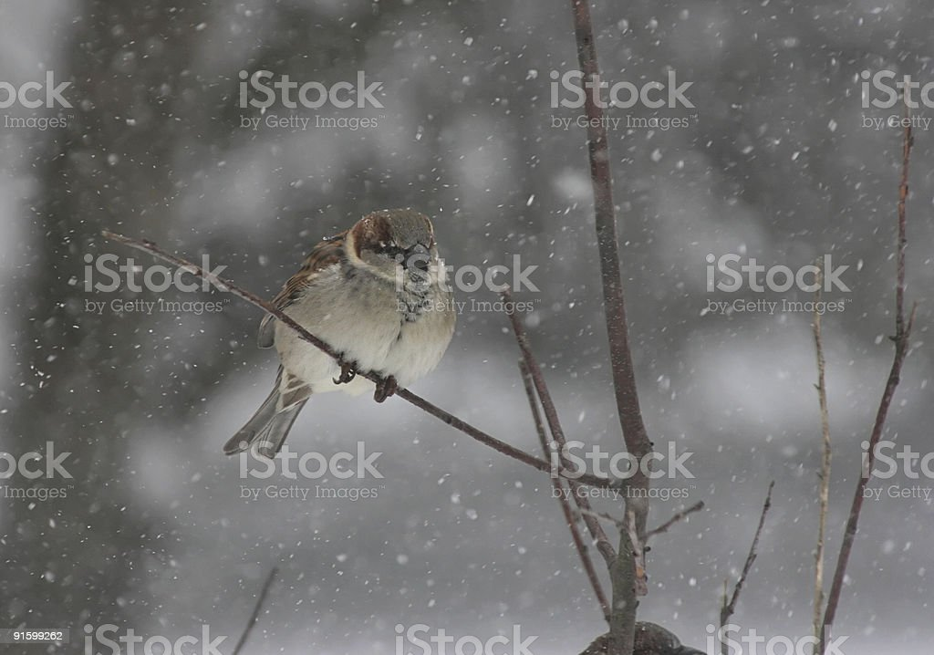 Sparrow in a Snow Storm royalty-free stock photo