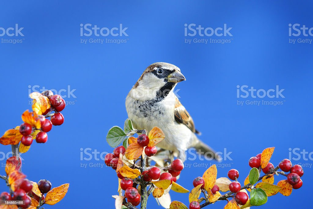 Sparrow in autumn royalty-free stock photo
