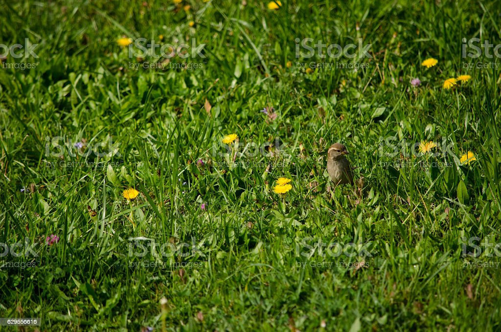 Sparrow in Meadow stock photo