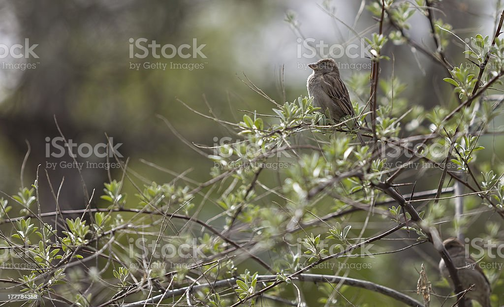 Sparrow in springtime royalty-free stock photo