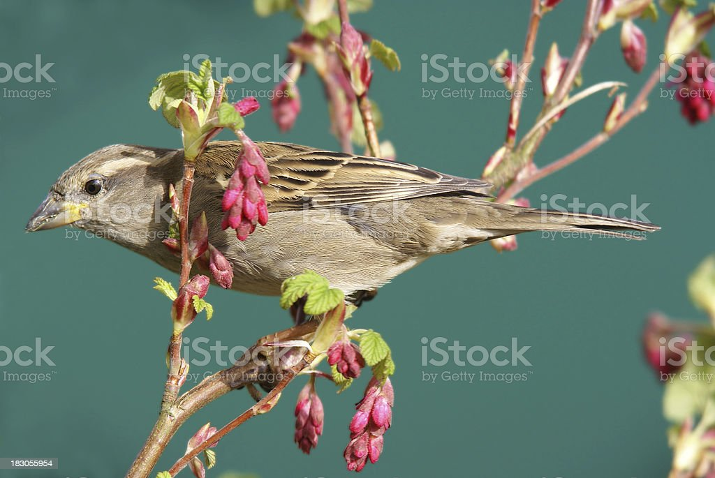 Sparrow in springtime stock photo