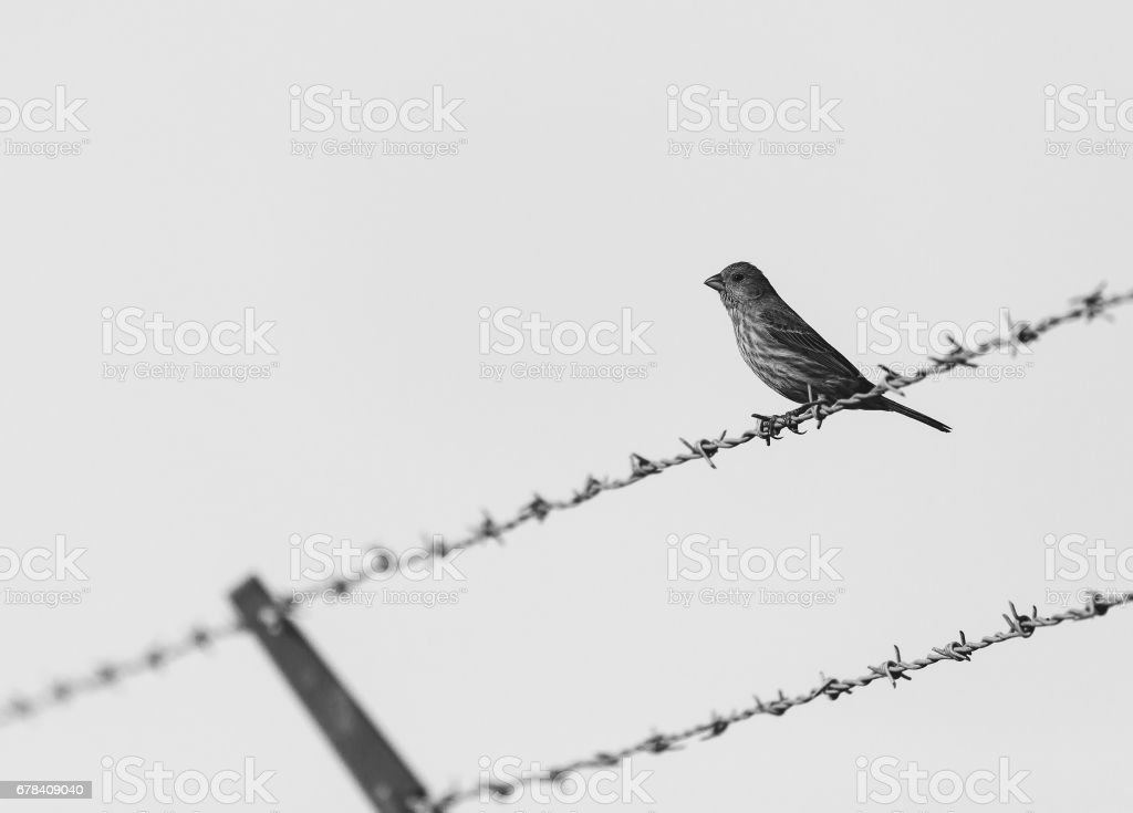 Sparrow is sitting on barbed wire fence stock photo