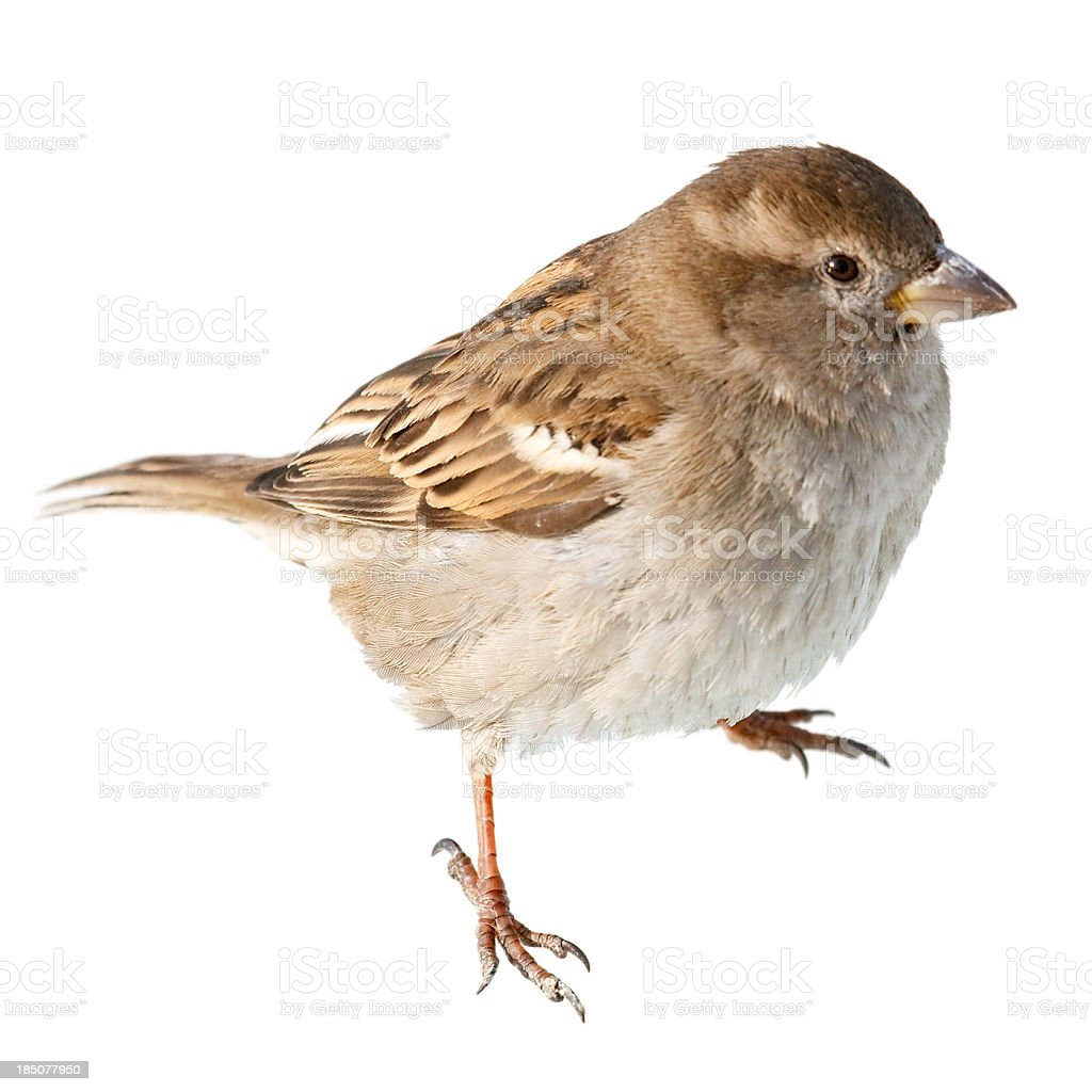 Sparrow isolated on white background stock photo