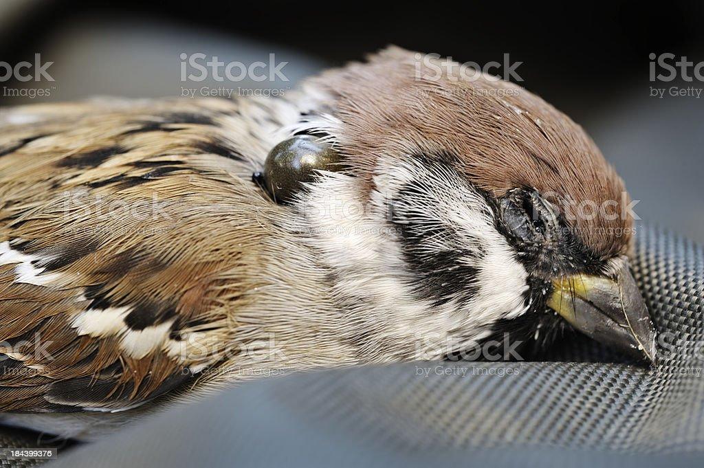 sparrow killed by tick stock photo