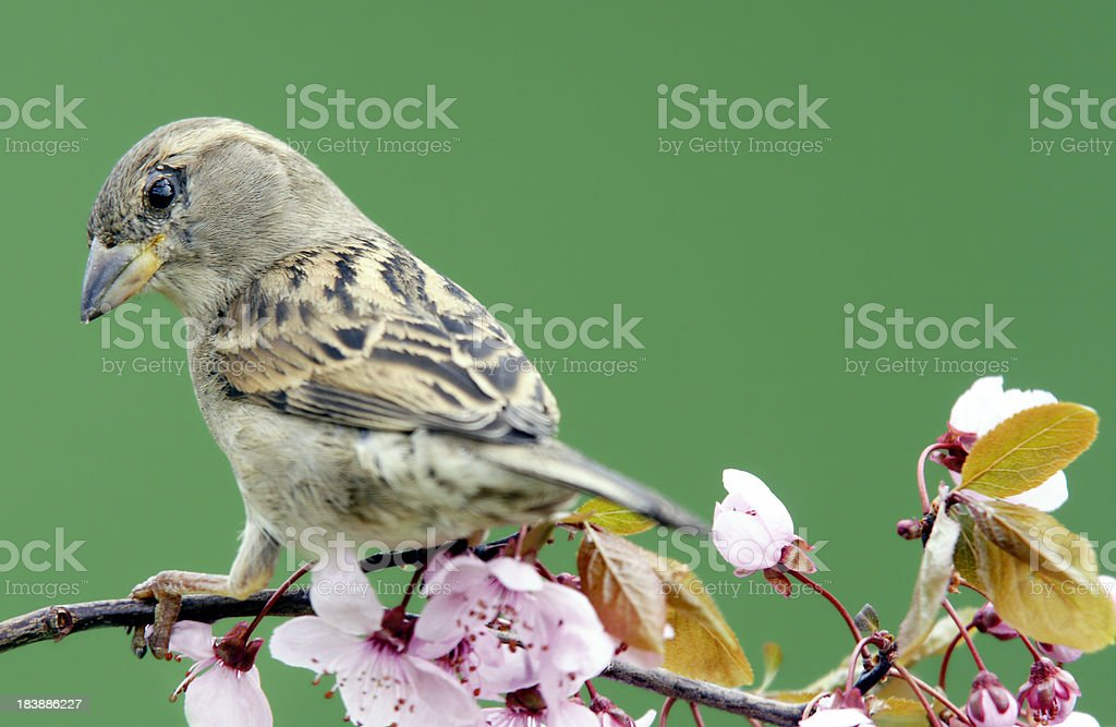 Sparrow on a blossoming twig royalty-free stock photo