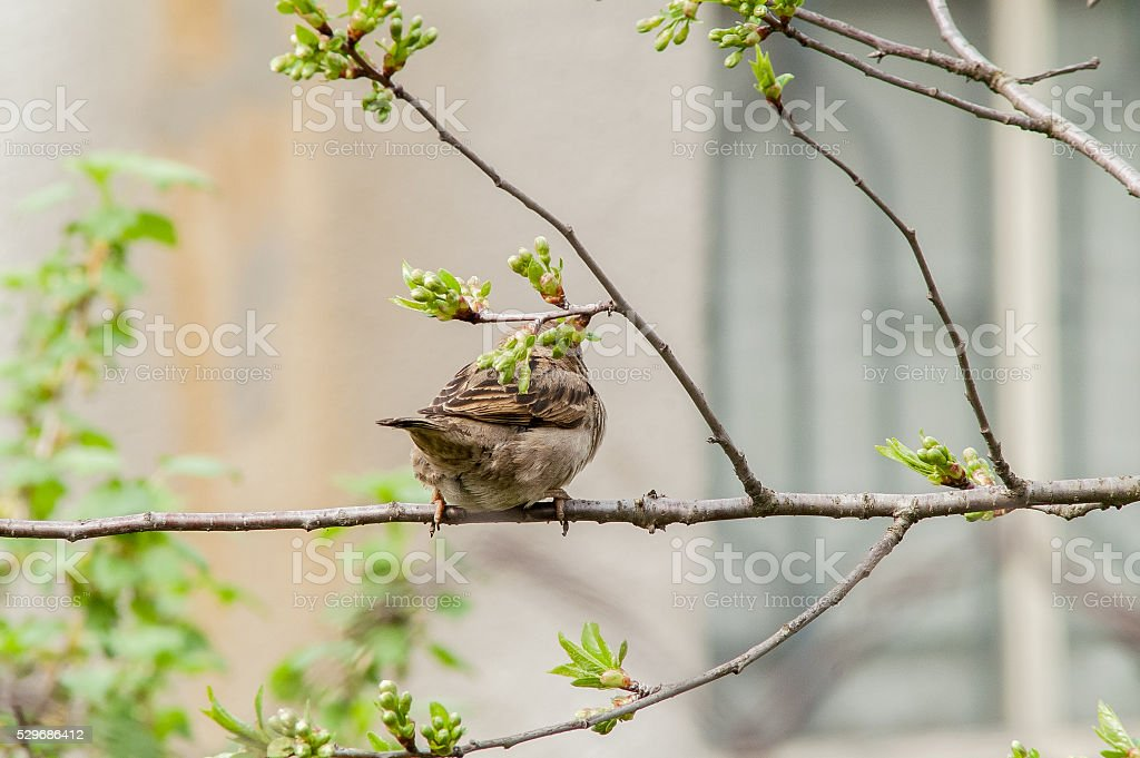 Sparrow on a branch stock photo
