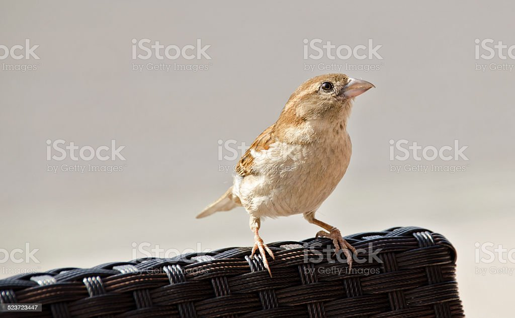 Sparrow on a chair stock photo