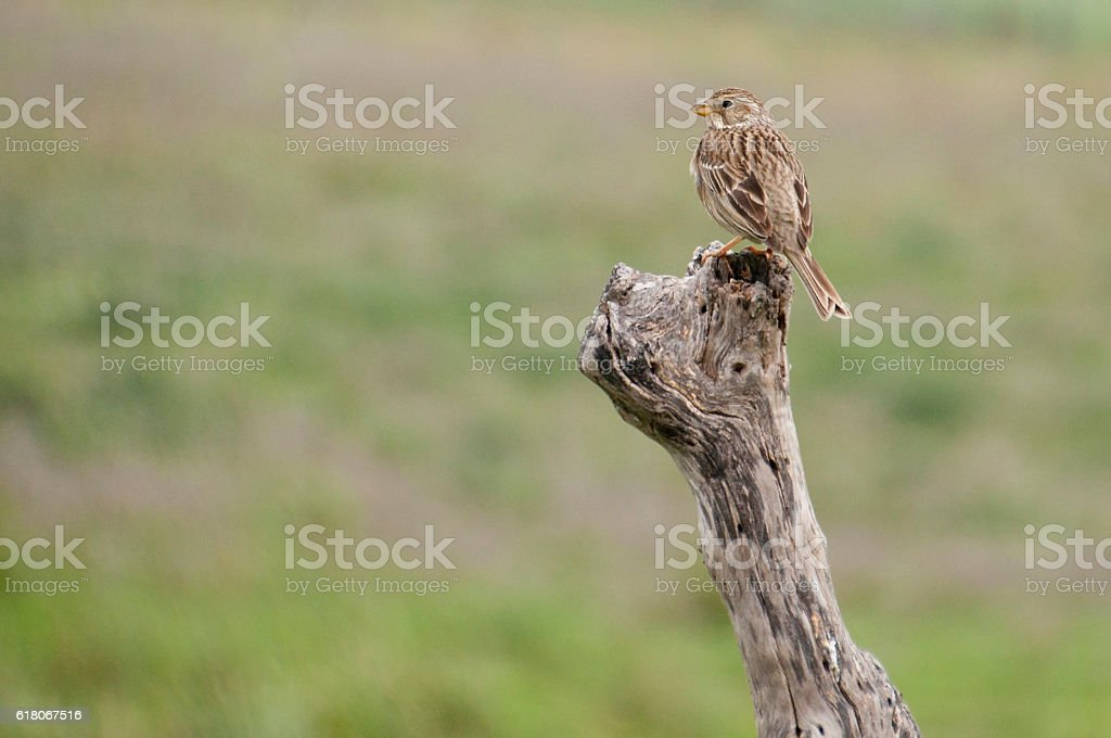 Sparrow on a dry tree trunk stock photo