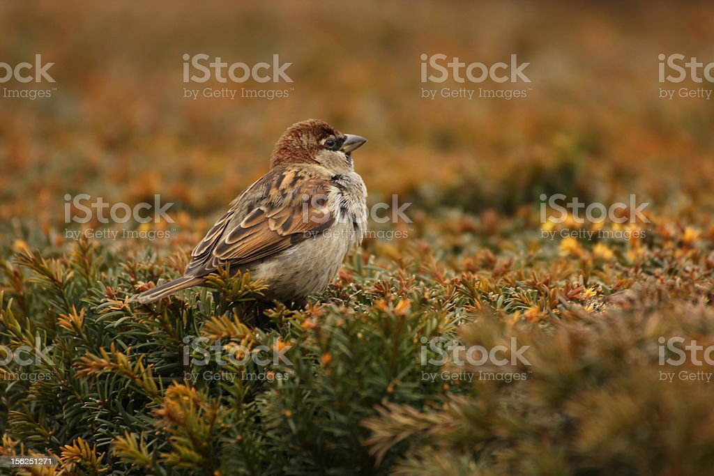 Sparrow on a hedge royalty-free stock photo