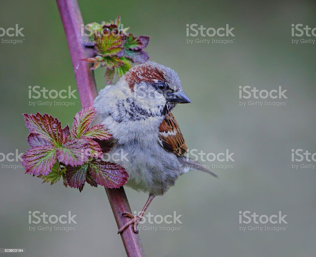 Sparrow on a twig stock photo