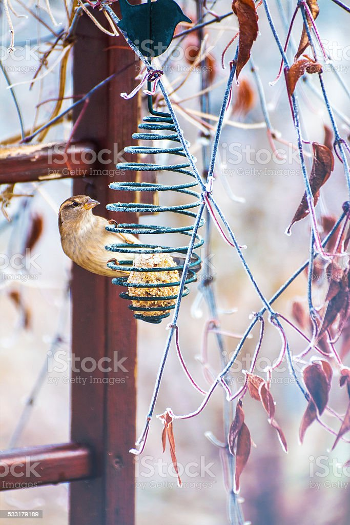 Sparrow on bird feeder with seeds in winter stock photo