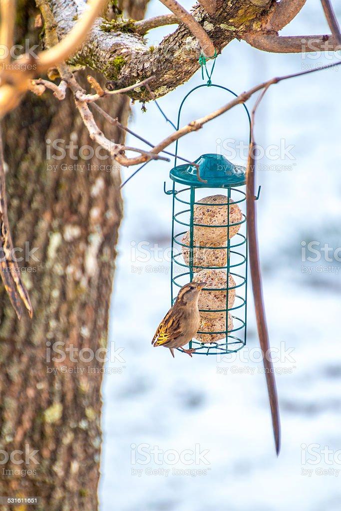 Sparrow on bird feeder with seeds ready to eat stock photo