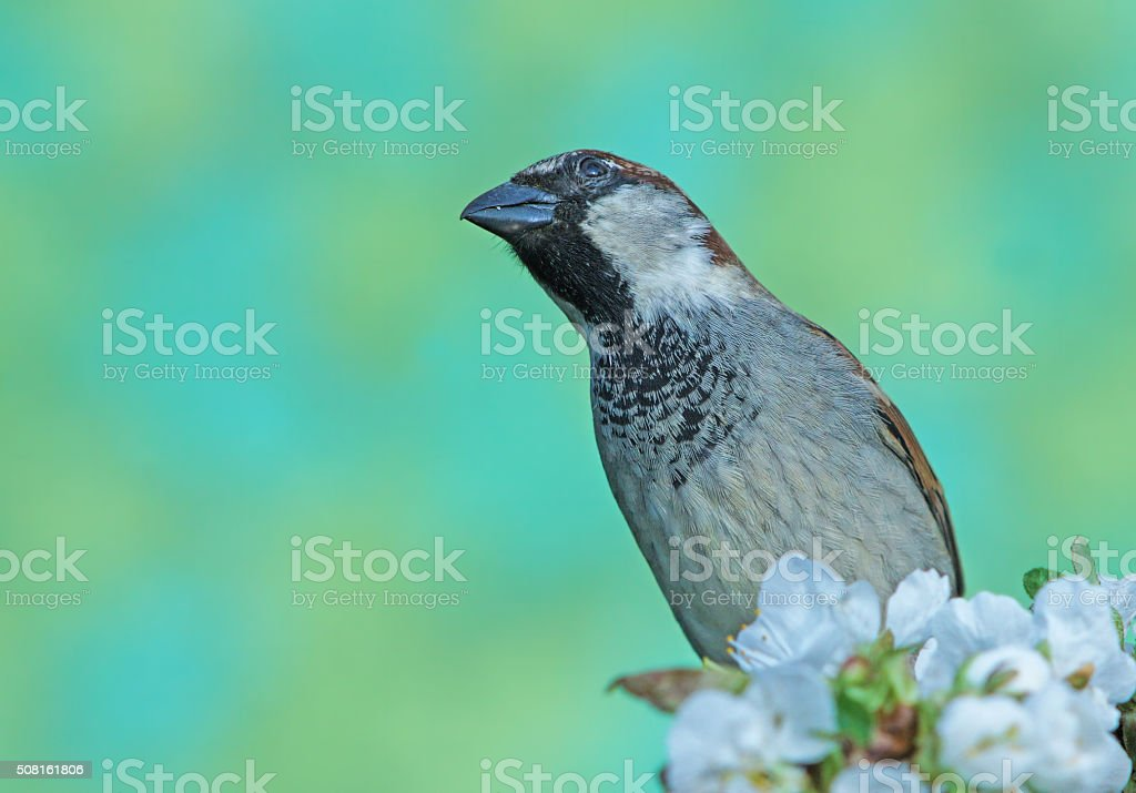 Sparrow on blossoming apple twig stock photo