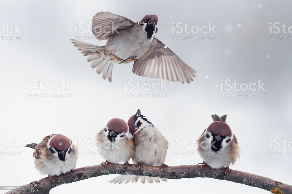 Sparrow on branch in winter stock photo